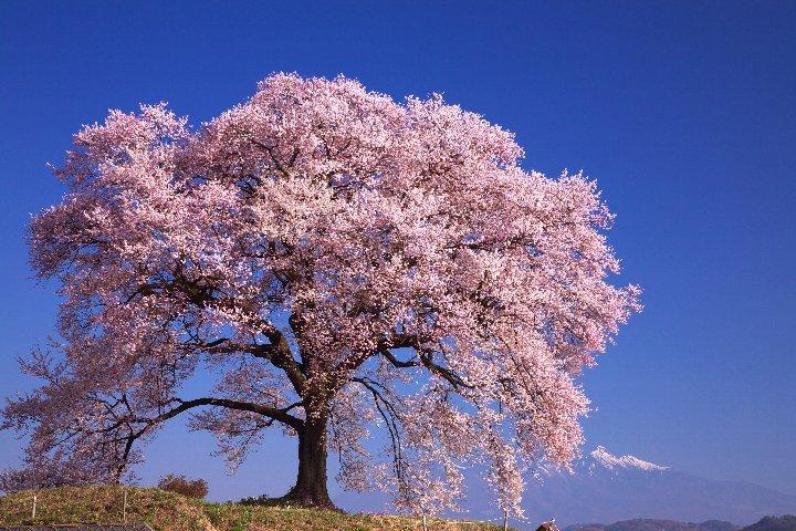 山梨県韮崎市にある「わに塚の桜」