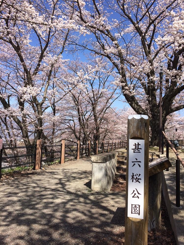 甚六桜2019年開花状況