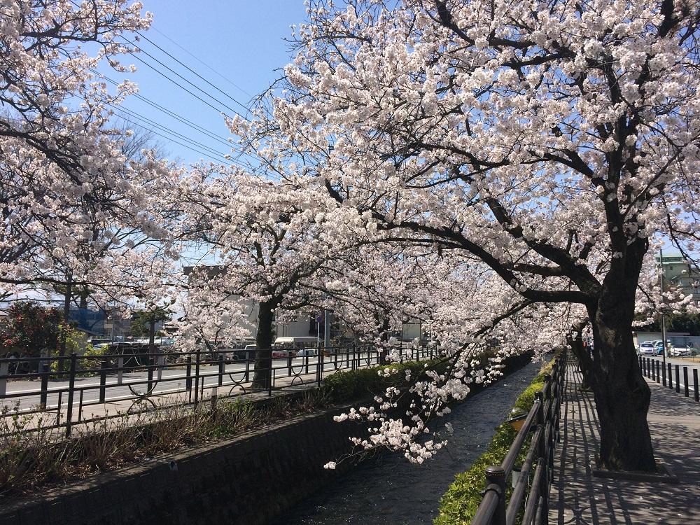 山梨県笛吹市石和温泉さくら温泉通りの桜並木