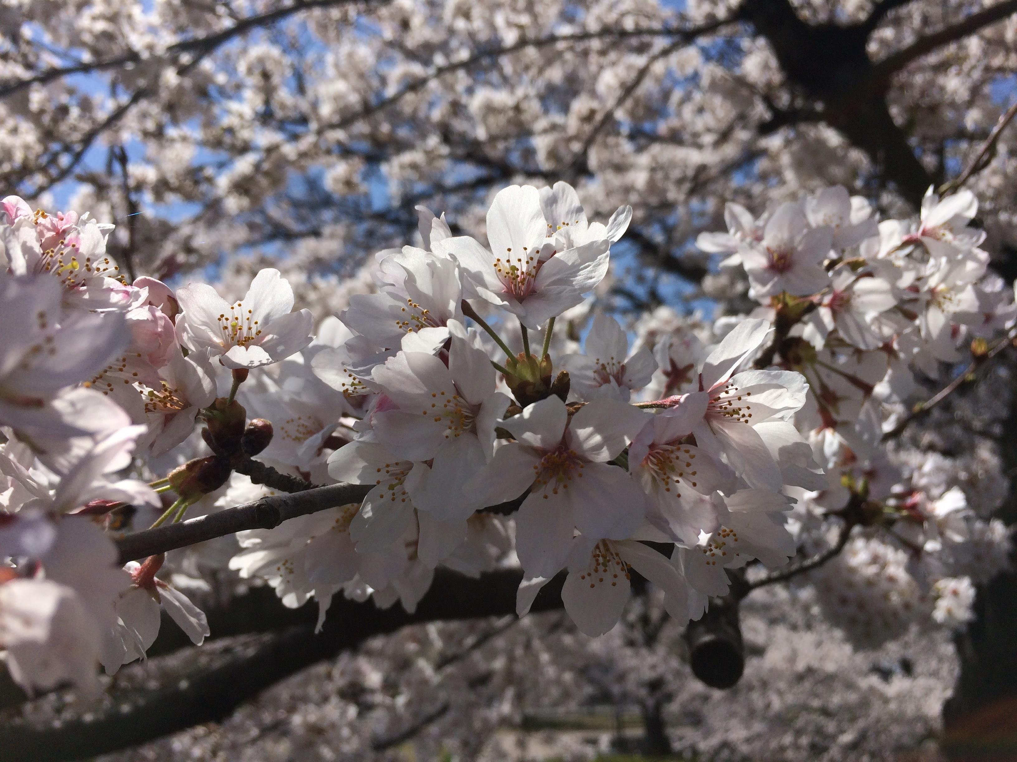山梨桜開花情報2021