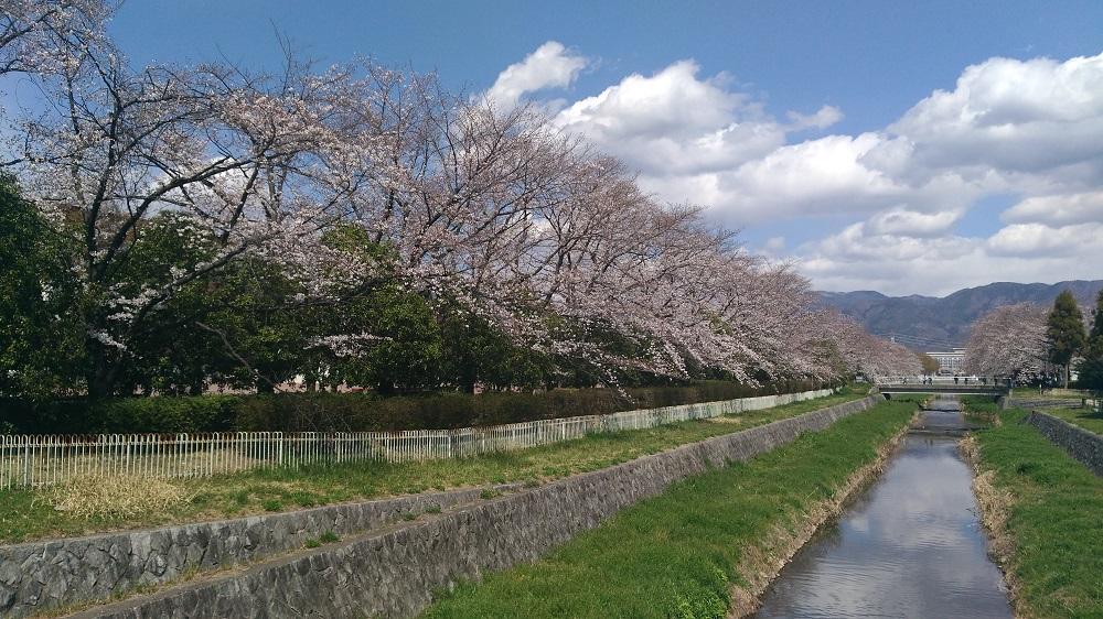 小瀬スポーツ公園の桜の開花状況