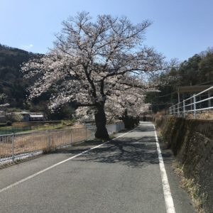 甲斐常葉駅の桜